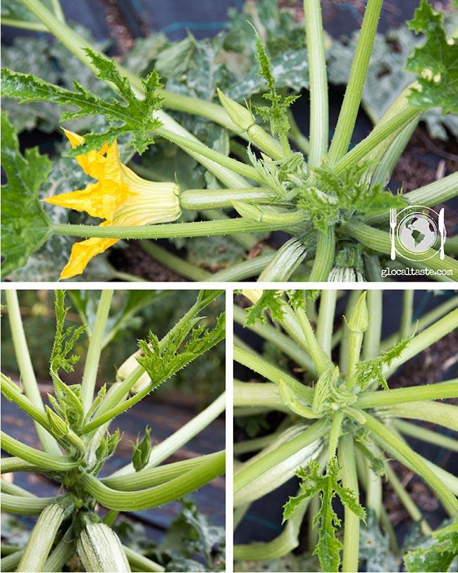 pianta-e-danni-di-zucchine